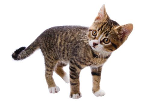 Kitten「tabby キトン」:スマホ壁紙(17)