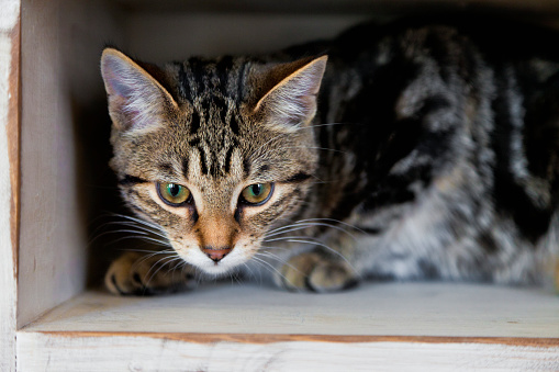 子猫「A tabby kitten sitting inside a small cubby; spruce grove alberta canada」:スマホ壁紙(9)