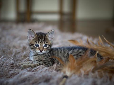 子猫「Tabby kitten lying on a rug」:スマホ壁紙(2)