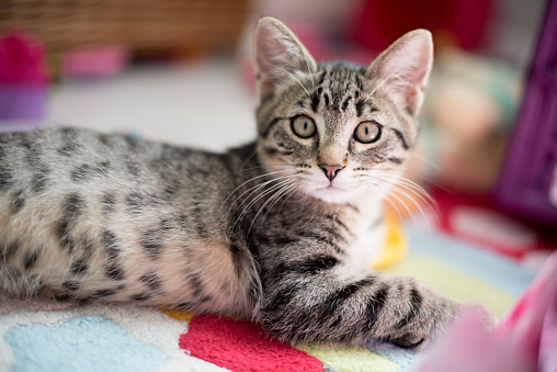 Kitten「Tabby kitten lying on carpet」:スマホ壁紙(1)