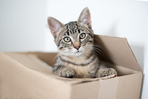 Kitten「Tabby kitten hiding in cardboard box」:スマホ壁紙(2)