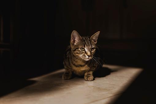 Kitten「Tabby kitten at morning sunlight」:スマホ壁紙(10)