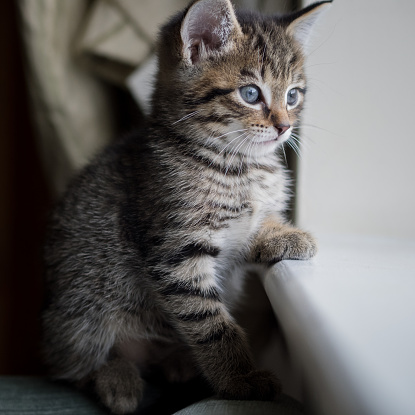 子猫「Tabby kitten looking out of window」:スマホ壁紙(11)