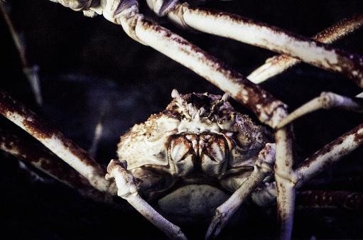 Spider Crab「Japanese Spider Crab」:スマホ壁紙(10)