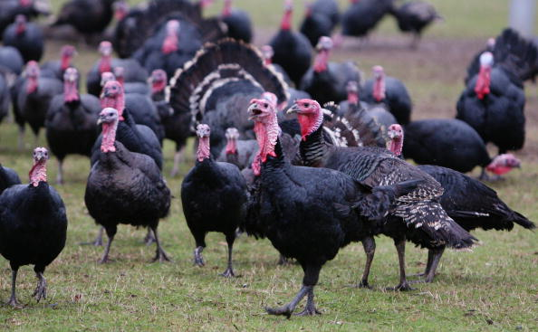 Turkey - Bird「Demand Increases For Organic Turkey During Festive Season」:写真・画像(1)[壁紙.com]