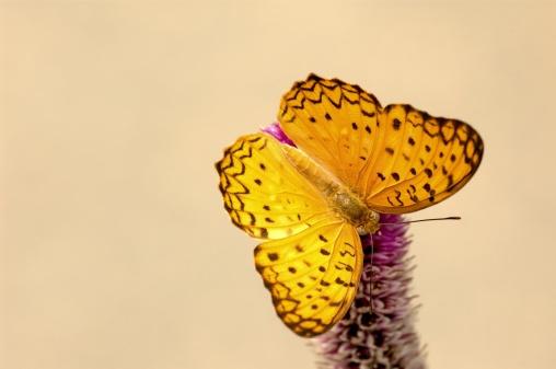 Spread Wings「Leopard (Phalanta phalantha) of Singapore」:スマホ壁紙(8)