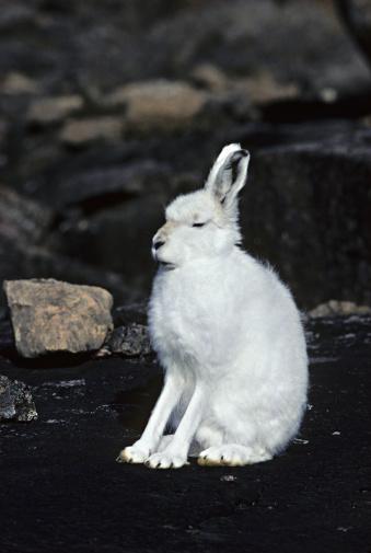 Rabbit「Arctic Hare, Lepus arcticus, in white winter fur」:スマホ壁紙(8)