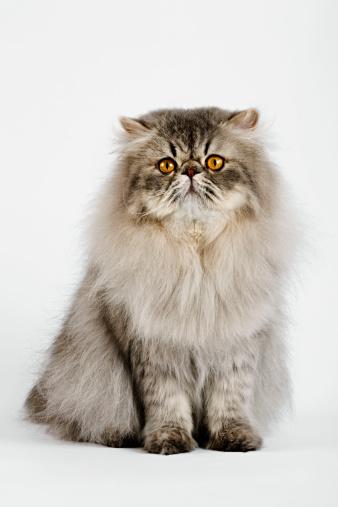 ペルシャネコ「Blue spotted Persian Tabby (Felis Felidae) Studio shot against white background.」:スマホ壁紙(18)
