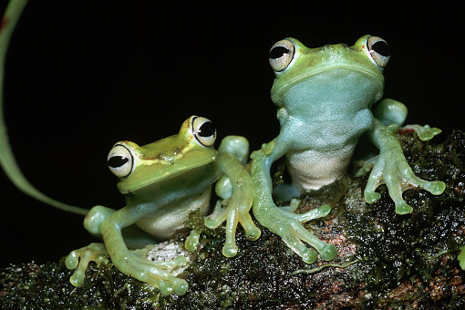 Montane Rainforest「Two Tree Frogs」:スマホ壁紙(19)