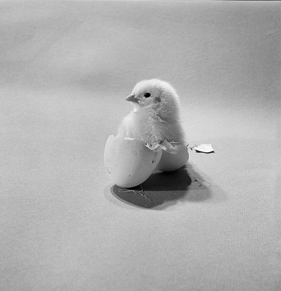 Animal Egg「Newly Hatched Chick Standing In An Egg Shell」:写真・画像(2)[壁紙.com]