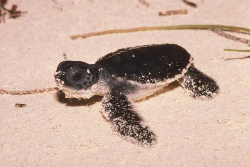 Green Turtle「Newly hatched green turtle on beach. Chelonia mydas. Cousin Island, Republic of Seychelles, Africa.」:スマホ壁紙(19)