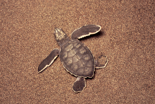 Green Turtle「Newly Hatched Green Turtle in Sand」:スマホ壁紙(10)