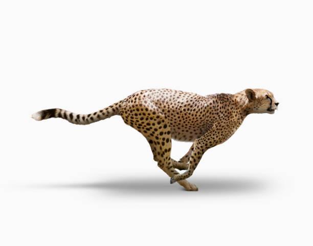 Cheetah Speed:スマホ壁紙(壁紙.com)
