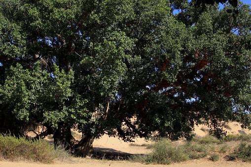 セイヨウカジカエデ「Sycamore Fig Tree」:スマホ壁紙(9)