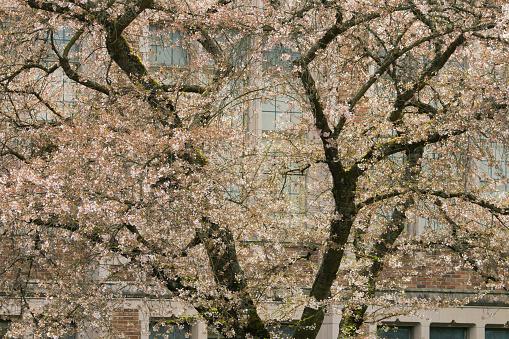 桜「Cherry Blossoms in flower, Seattle」:スマホ壁紙(5)
