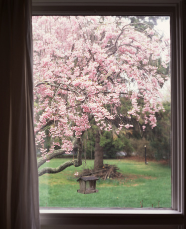 Cherry Blossom「Cherry blossoms on tree outside window」:スマホ壁紙(7)