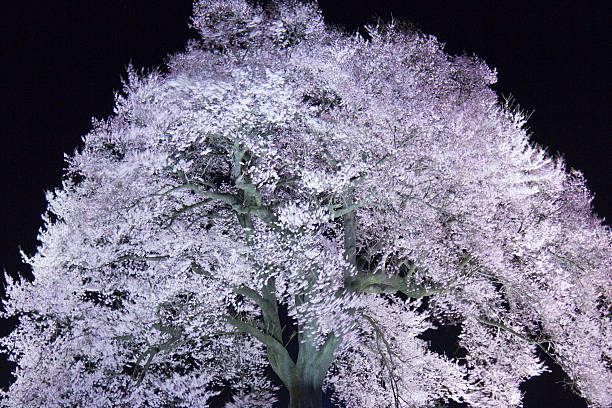 Cherry blossoms at night, Yamanashi Prefecture, Honshu, Japan:スマホ壁紙(壁紙.com)