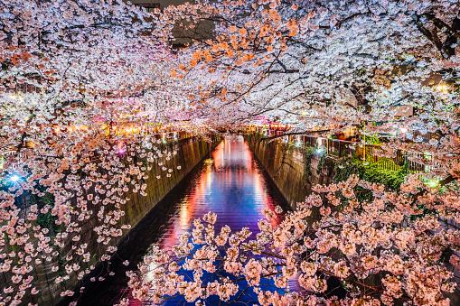 お祭り「東京都の桜の開花時期」:スマホ壁紙(14)