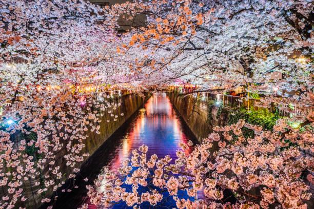 Cherry blossoms season in Tokyo, Japan:スマホ壁紙(壁紙.com)