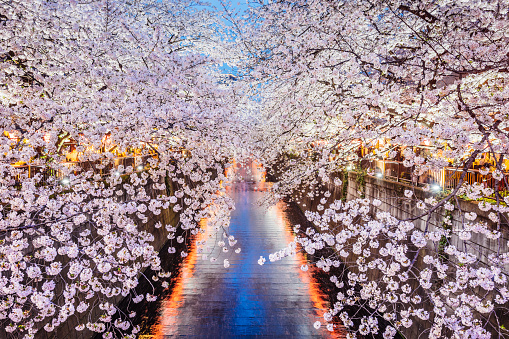Cityscape「Cherry blossoms season in Tokyo, Japan」:スマホ壁紙(9)
