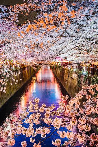 Cherry Blossoms「Cherry blossoms season in Tokyo, Japan」:スマホ壁紙(9)