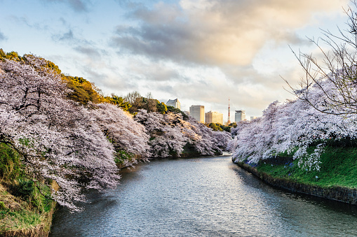 Cherry trees at evening「Cherry Blossoms in Tokyo with Tokyo Tower on background」:スマホ壁紙(14)