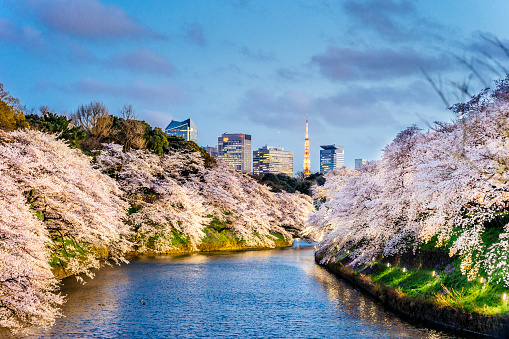 Cherry trees at evening「Cherry Blossoms in Tokyo with Tokyo Tower on background」:スマホ壁紙(6)