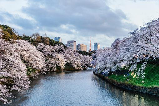 Cherry Blossom「背景に東京タワーと東京の桜」:スマホ壁紙(17)
