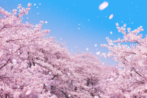 桜「Cherry blossoms and petals blowing in wind」:スマホ壁紙(9)