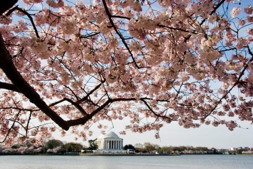 Cherry Blossom Festival「桜やジェファーソン記念館」:スマホ壁紙(14)