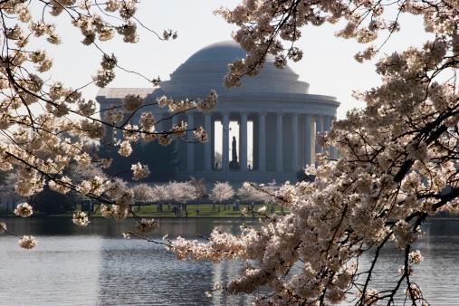Cherry Blossom Festival「桜やジェファーソン記念館」:スマホ壁紙(7)