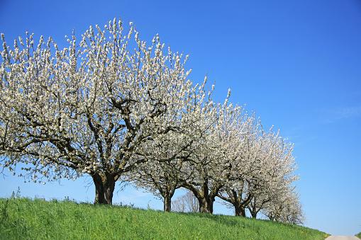 桜「Cherry Blossoms, Switzerland, Canton Solothurn」:スマホ壁紙(5)