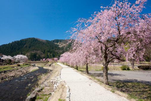 Satoyama - Scenery「Cherry blossoms at Ichijyo-tani Asakura ruins, Fukui Prefecture, Honshu, Japan」:スマホ壁紙(5)