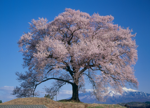 里山「Cherry Blossoms of Wanitsuka, Nirasaki, Yamanashi, Japan」:スマホ壁紙(18)