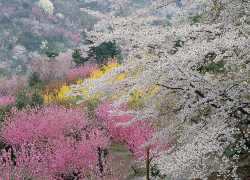 Hanami「Cherry Blossoms of Mount Hanami, Fukushima, Fukushima, Japan」:スマホ壁紙(8)