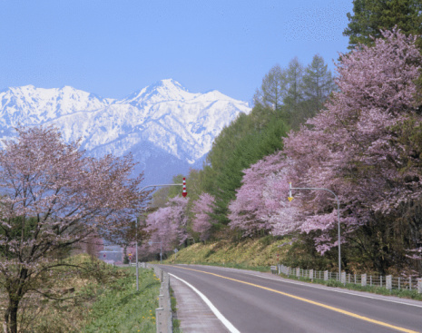 桜「Cherry Blossoms and Road」:スマホ壁紙(16)