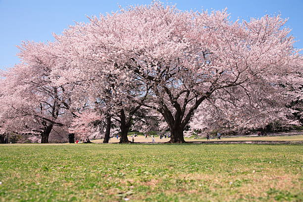 Cherry blossoms in the field, Tokyo prefecture, Japan:スマホ壁紙(壁紙.com)
