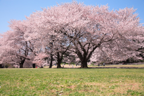 桜「Cherry blossoms in the field, Tokyo prefecture, Japan」:スマホ壁紙(3)