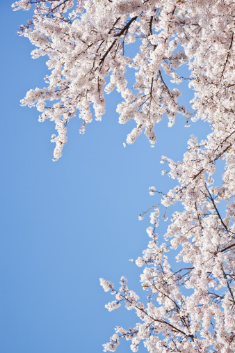 桜「Cherry blossoms against blue sky」:スマホ壁紙(5)