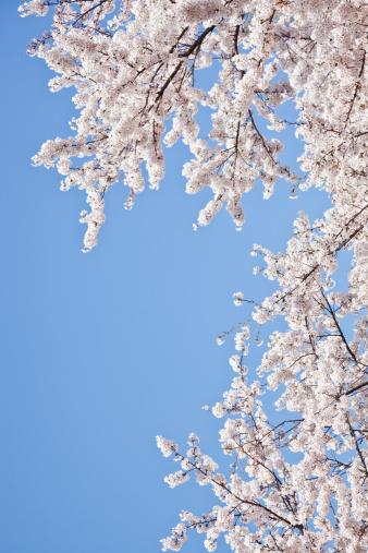 桜「Cherry blossoms against blue sky」:スマホ壁紙(17)