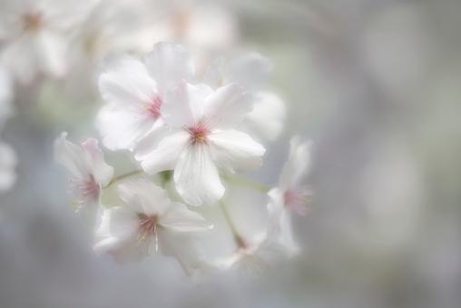 桜「Cherry Blossom Prunus The Bride」:スマホ壁紙(19)