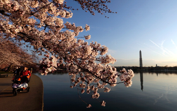 Cherry Blossom「DC's Cherry Blossoms Come To Late Bloom」:写真・画像(6)[壁紙.com]