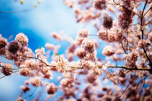 Cherry Blossom「Cherry blossoms」:スマホ壁紙(13)
