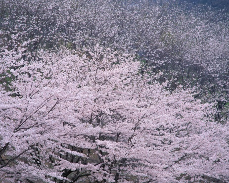 桜「Cherry Blossoms」:スマホ壁紙(14)