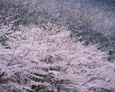Cherry Blossom「Cherry Blossoms」:スマホ壁紙(3)