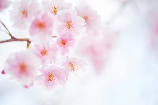 花見「桜の花」:スマホ壁紙(13)