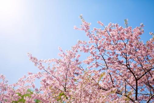 Cherry Blossoms「Cherry blossom」:スマホ壁紙(14)