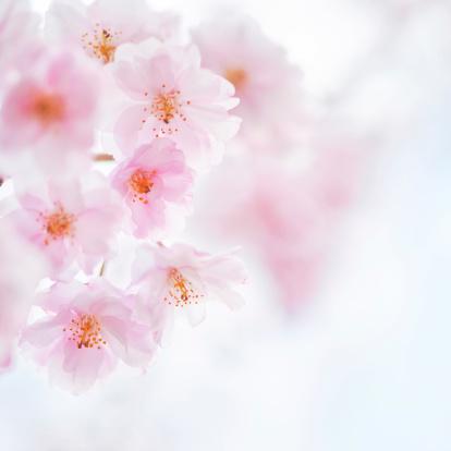Cherry Blossom Festival「桜の花」:スマホ壁紙(9)