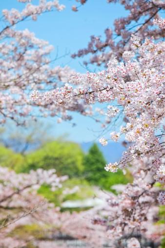 Cherry Blossom Festival「桜の花」:スマホ壁紙(19)