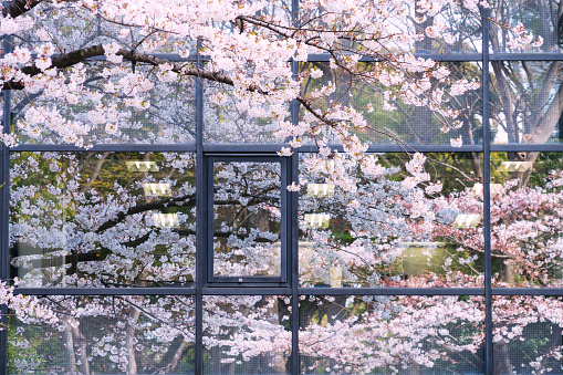 Cherry Blossom「Cherry blossoms reflect to building windows.」:スマホ壁紙(13)